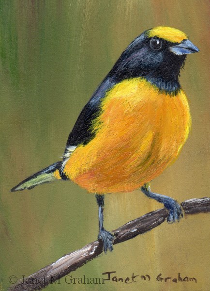 """Purple Throated Euphonia (Male) ACEO"" original fine art by Janet Graham"
