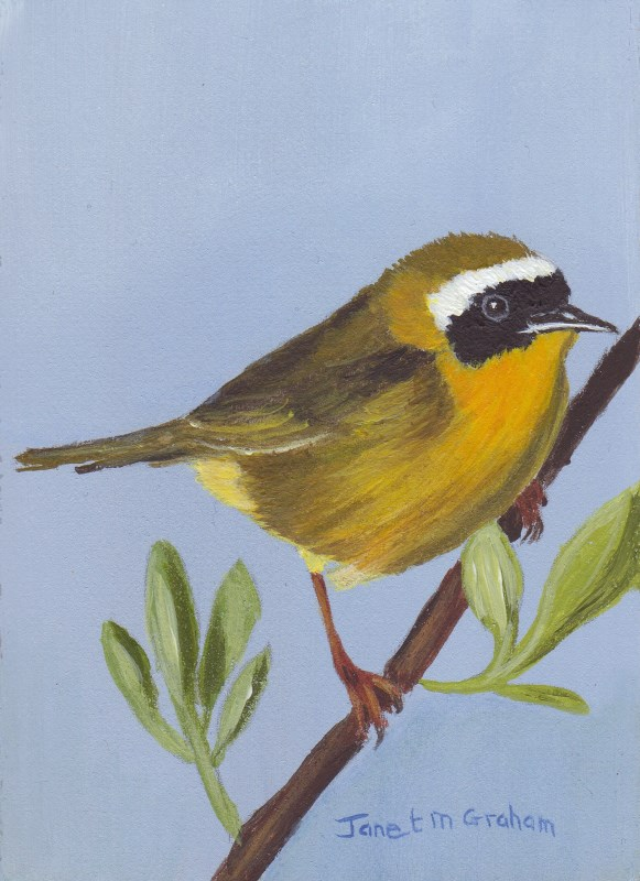 """Common Yellow Throat Bird ACEO"" original fine art by Janet Graham"