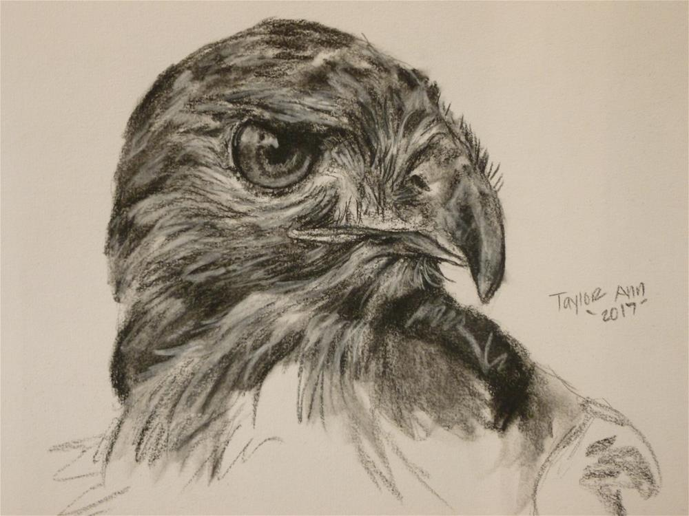 """Red Tailed Hawk Study (Charcoal)"" original fine art by Taylor Ann"
