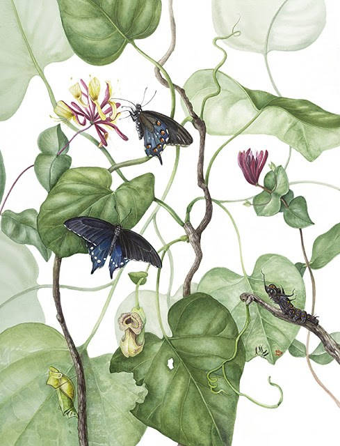 """Botanical Fine Art Painting, Butterfly,Nature PIPEVINE SWALLOWTAIL The Art of Nature, Fine Art by"" original fine art by Mindy Lighthipe"