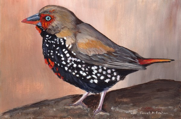 """Painted Firetail"" original fine art by Janet Graham"