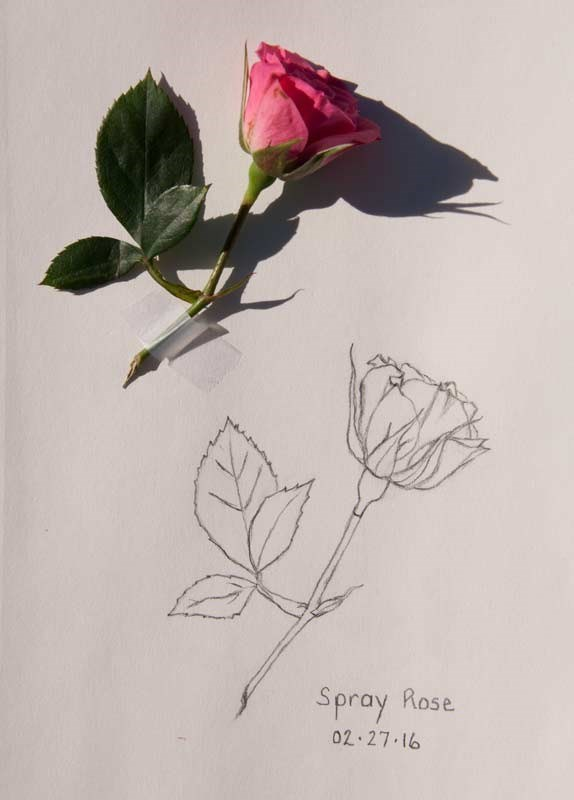 """Daily Sketch: Spray Rose"" original fine art by Debbie Lamey-Macdonald"