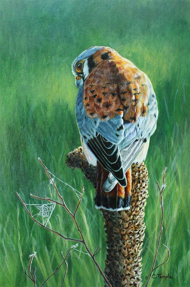 """Sunlight and Shadows - American Kestrel"" original fine art by Catherine Temple"