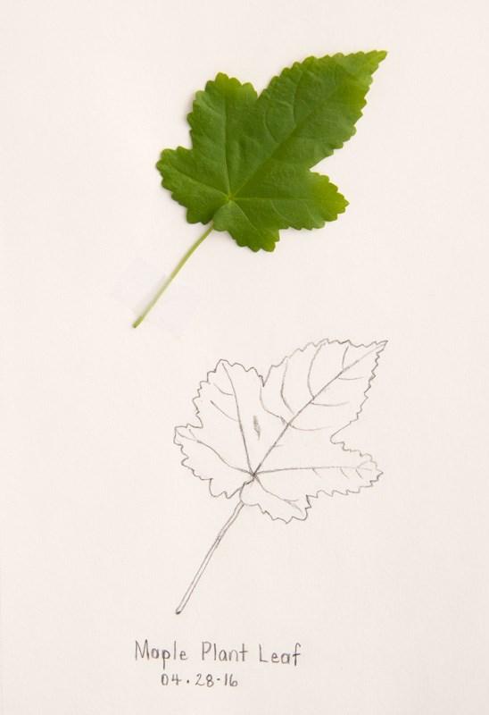 """Daily Sketch: Flowering Maple Plant Leaf"" original fine art by Debbie Lamey-Macdonald"