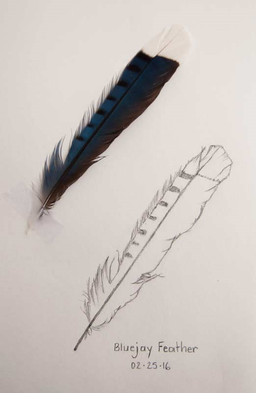 """Daily Sketch: Blue Jay Feather"" original fine art by Debbie Lamey-Macdonald"