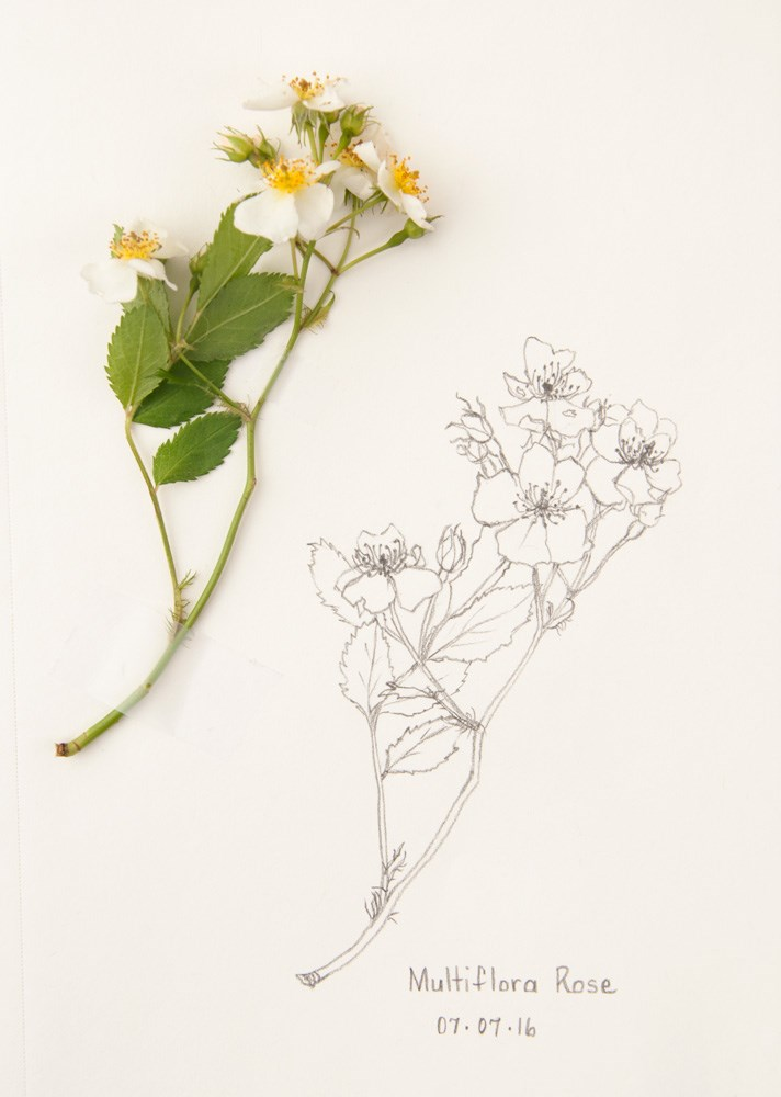 """Daily Sketch: Multiflora Rose"" original fine art by Debbie Lamey-Macdonald"