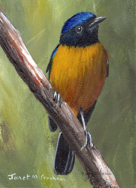 """Rufous Bellied Niltava ACEO"" original fine art by Janet Graham"