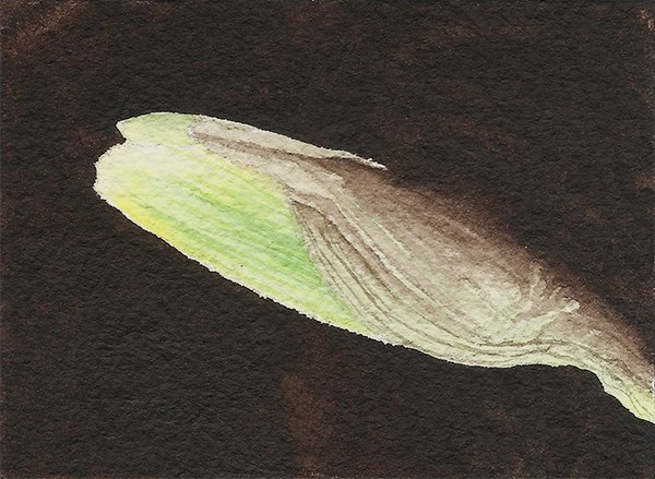"""Yellow Daffodil Bud (aceo)"" original fine art by Cory Behara"
