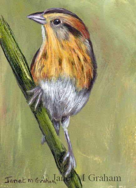"""Nelson's Sparrow ACEO"" original fine art by Janet Graham"
