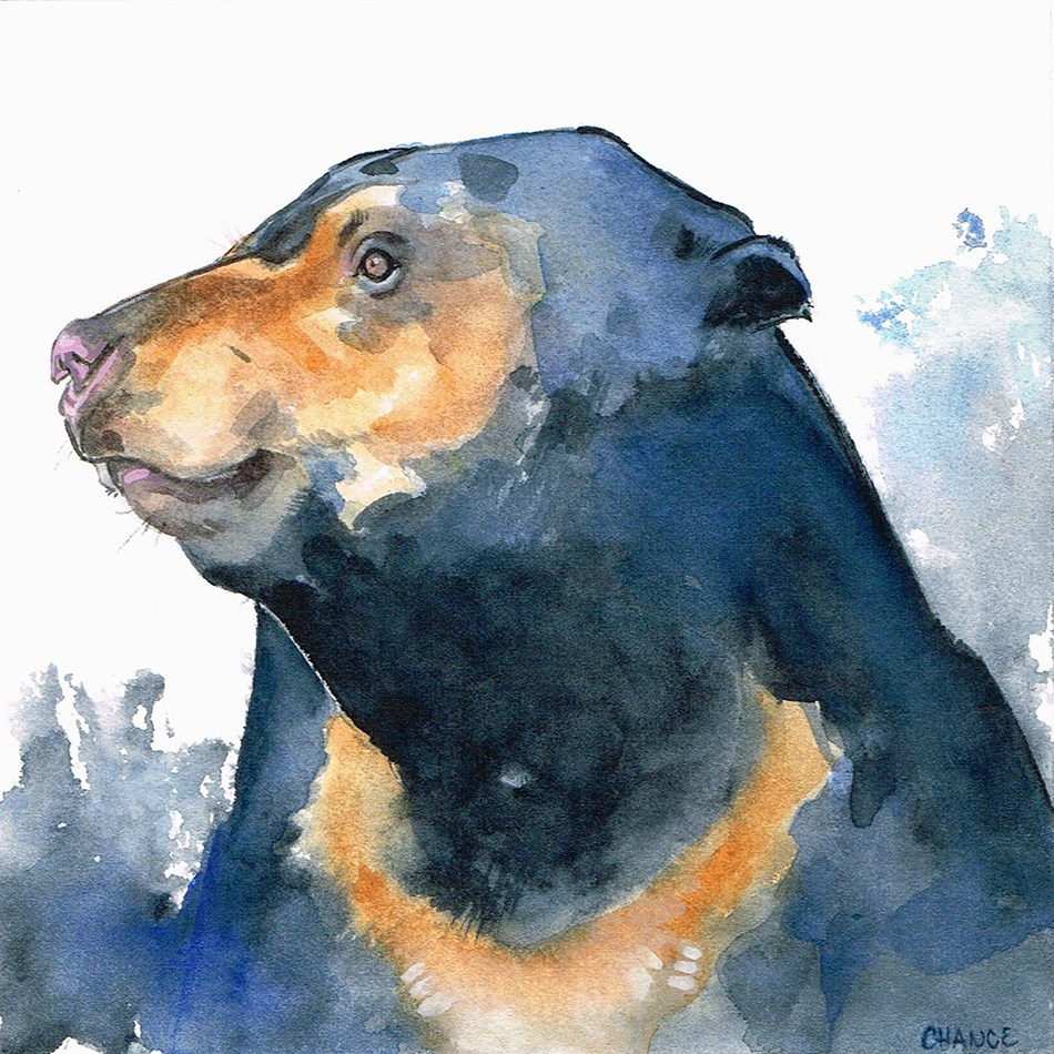 """Sun Bear"" original fine art by Annabel Chance"
