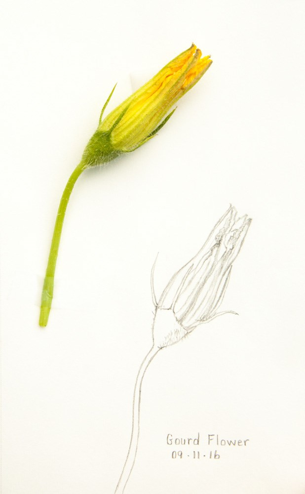 """Daily Sketch: Gourd Flower"" original fine art by Debbie Lamey-Macdonald"