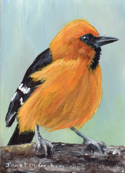 """Altamira Oriole ACEO"" original fine art by Janet Graham"