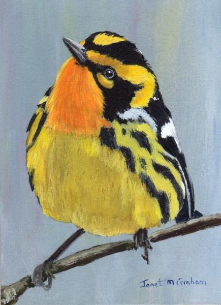 """Blackburnian Warbler ACEO"" original fine art by Janet Graham"