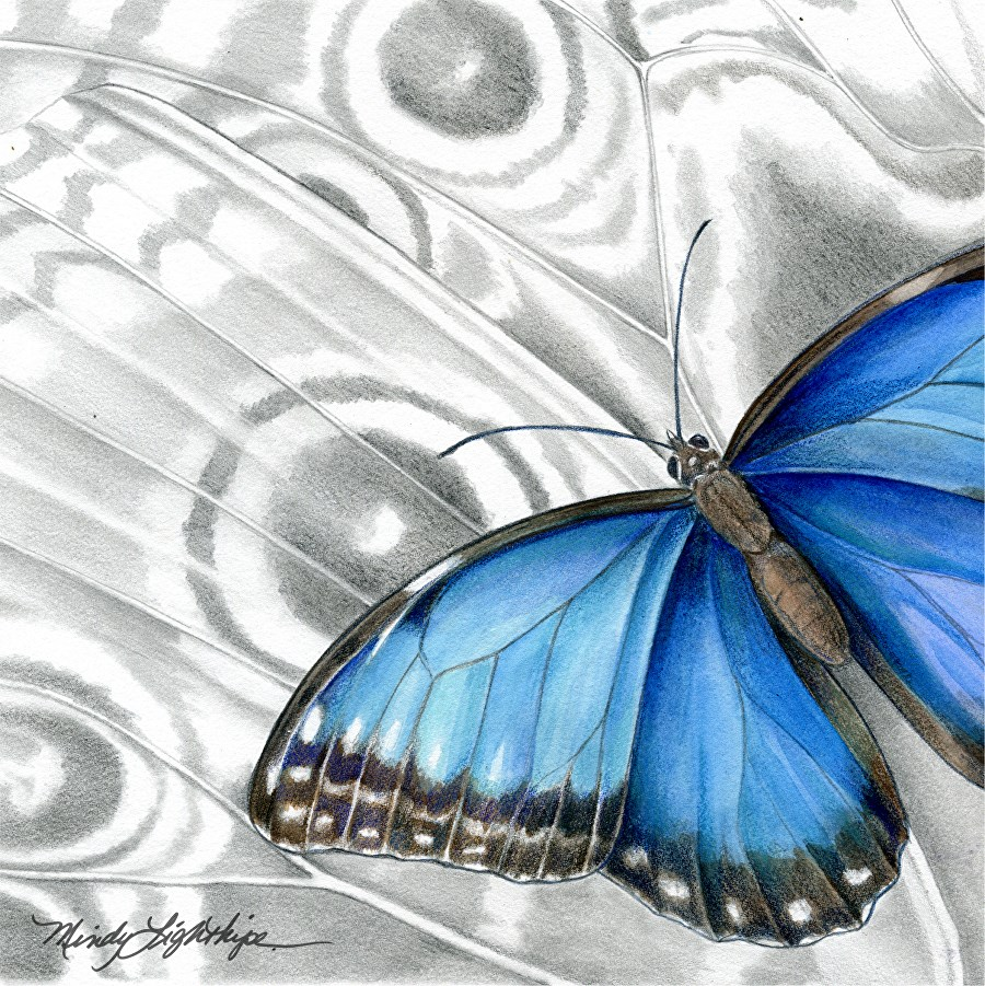 """""""Wildlife Art Insect, Nature, Butterfly BLUE MORPHO BUTTERFLY The Art of Nature, Fine Art  by Mindy"""" original fine art by Mindy Lighthipe"""