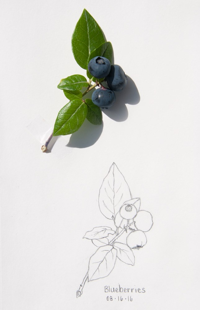 """Blueberry Bush: Daily Sketch"" original fine art by Debbie Lamey-Macdonald"