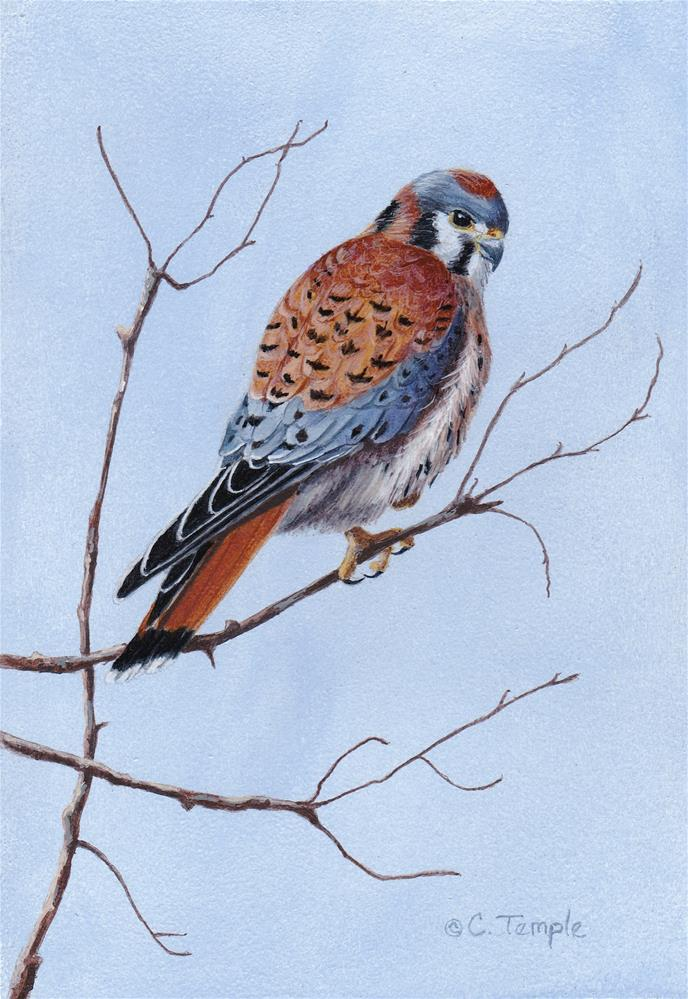 """Male Kestrel"" original fine art by Catherine Temple"