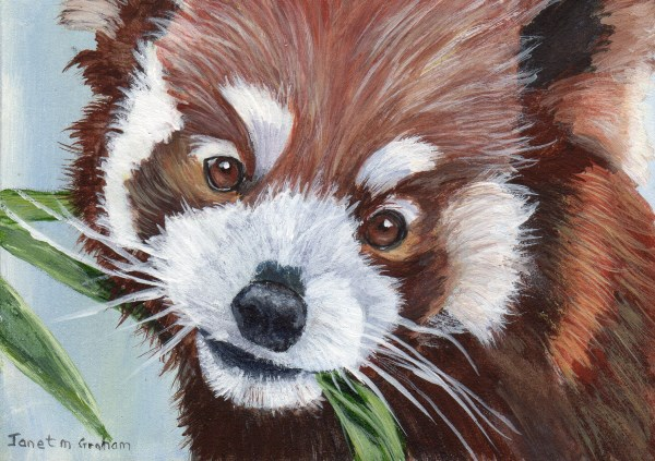"""Red Panda ACEO"" original fine art by Janet Graham"