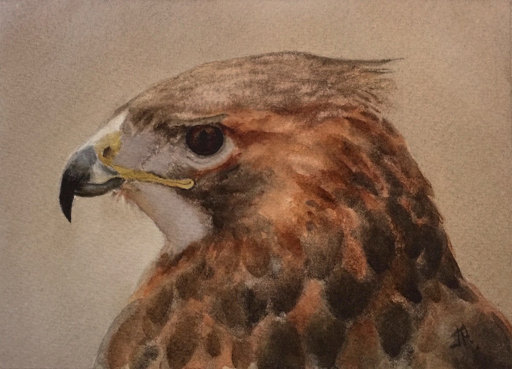 """Red-shouldered Hawk"" original fine art by June Rollins"