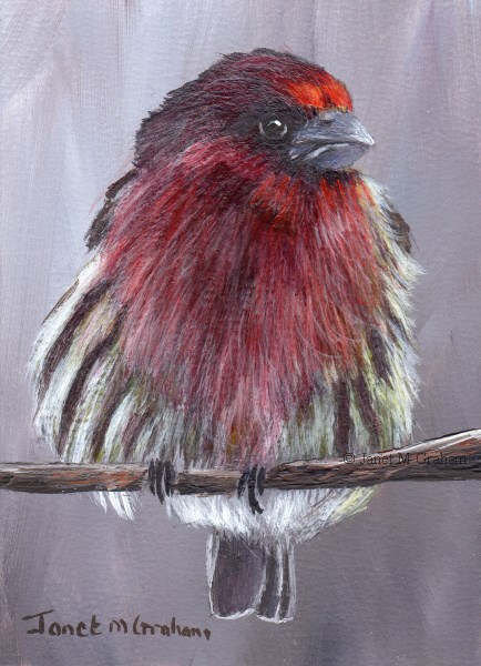 """""""House Finch ACEO"""" original fine art by Janet Graham"""