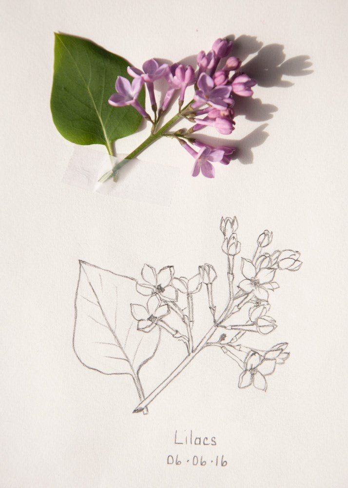 """Daily Sketch: Lilacs"" original fine art by Debbie Lamey-Macdonald"