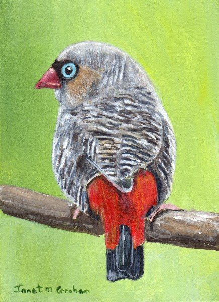 """Beautiful Firetail ACEO"" original fine art by Janet Graham"