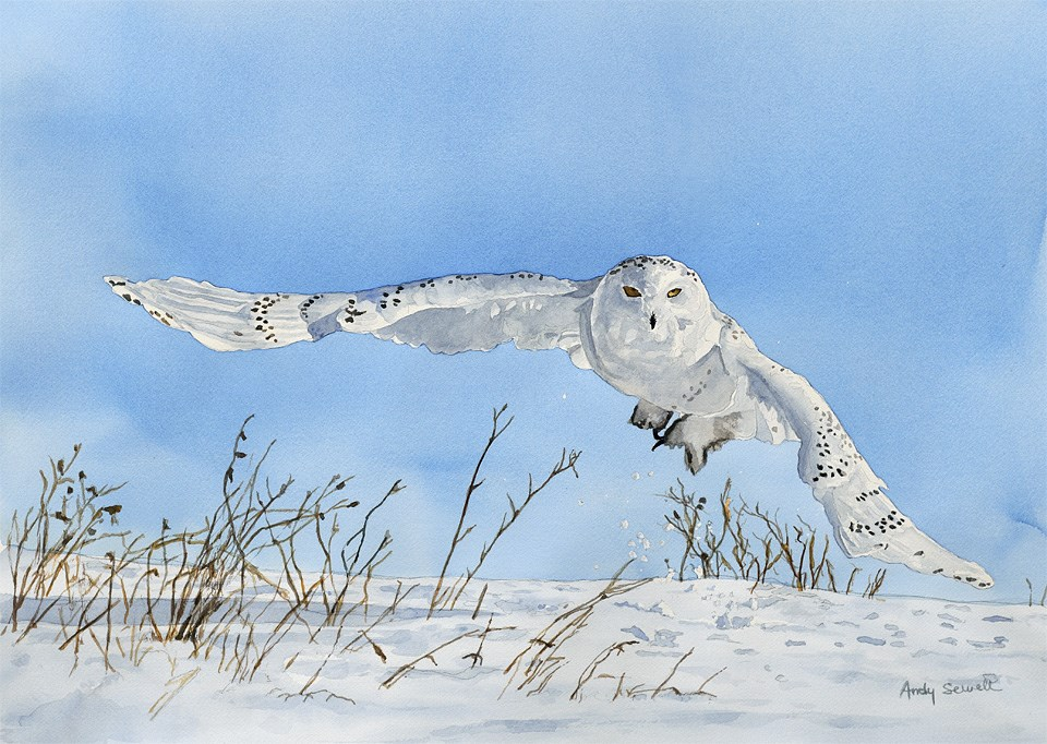 """S is for Snowy Owl"" original fine art by Andy Sewell"